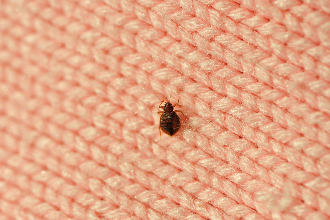 Punaises de lit : Attention aux entreprises peu scrupuleuses